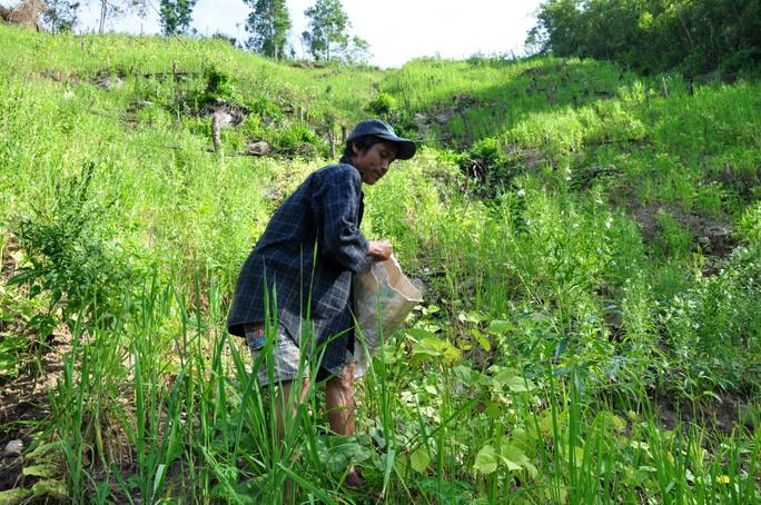 Khu rẫy của gia đình người rừng Hồ Văn Lang nằm trên đỉnh đồi, được trồng đủ loại như lúa, mè, đậu xanh...