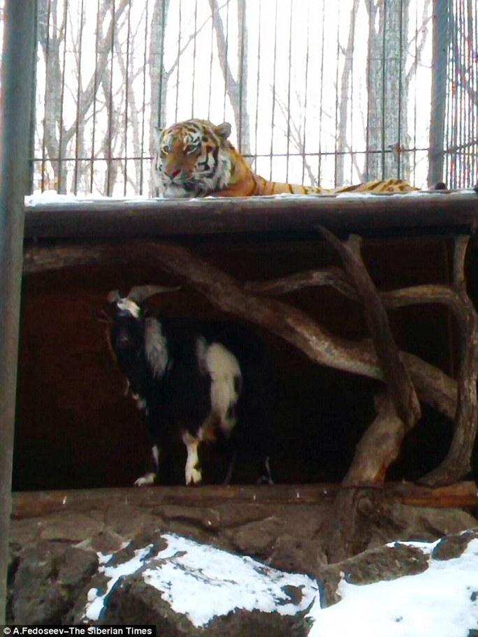 Dê ngủ trong, hổ ngủ ngoài. Ảnh: The Siberian Times