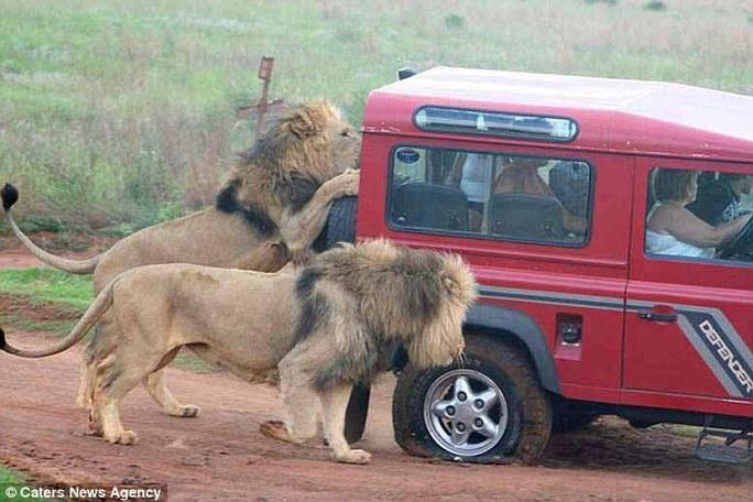 Sư tử cố đập kính xe. Ảnh: Caters News Agency