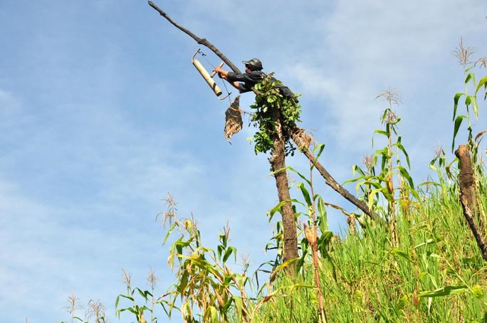Trong khu rẫy, anh Hồ Văn Lang đặt những bẫy thú, bẫy chim... Trong ảnh anh Hồ Văn Lang đang chỉnh lại bẫy chim do anh làm ra