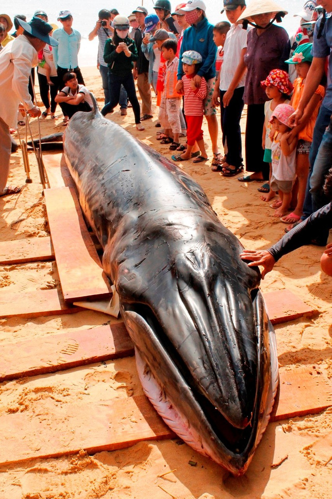 Theo người dân đây là con cá voi xanh miệng nhọn (Ảnh: Nguyễn Văn Sơn)