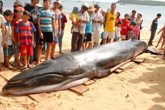 Con cá voi xanh được đưa lên bờ (Ảnh: Nguyễn Văn Sơn)