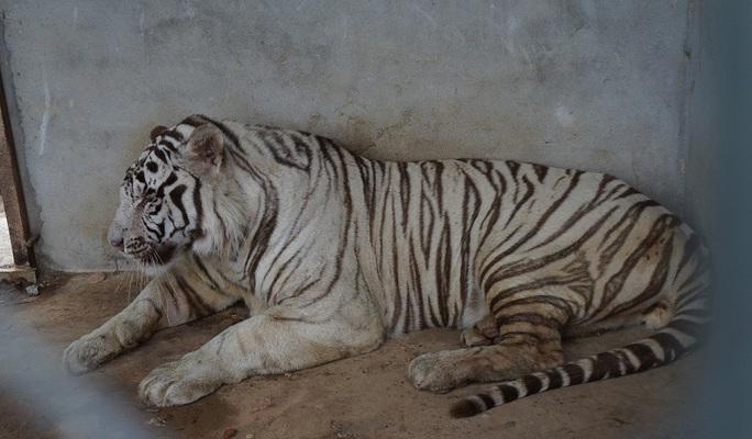 Hổ trắng nằm trong khu nuôi nhốt