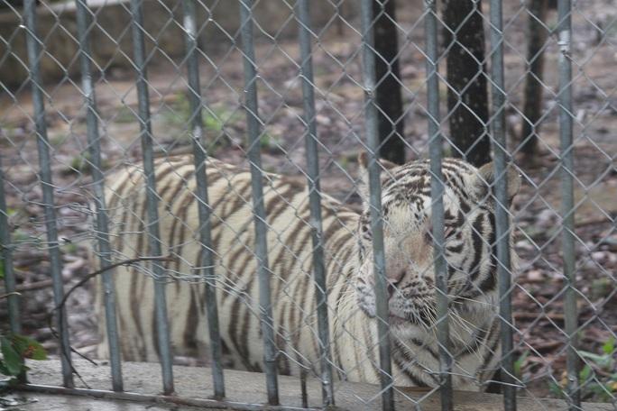 Một cá thể hổ trưởng thành tại trang trại.