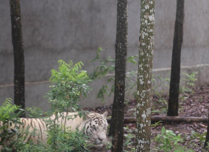 Một chú hổ trắng quý hiếm nấp sau bụi cây tại Trại Bò