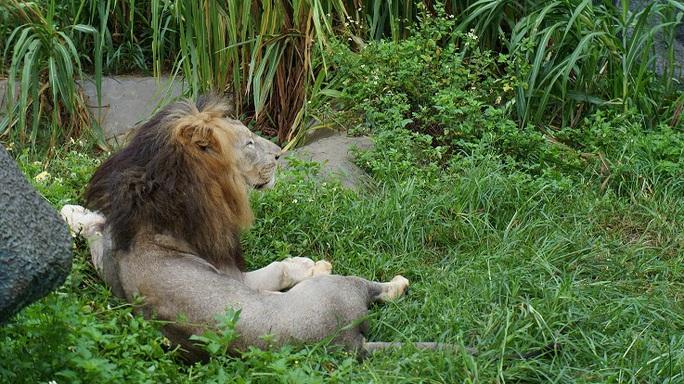 Ngoài hổ, tại trang trại còn nuôi sư tử.