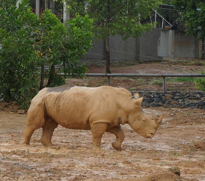 Tê giác được nuôi nhốt tại trang trại.