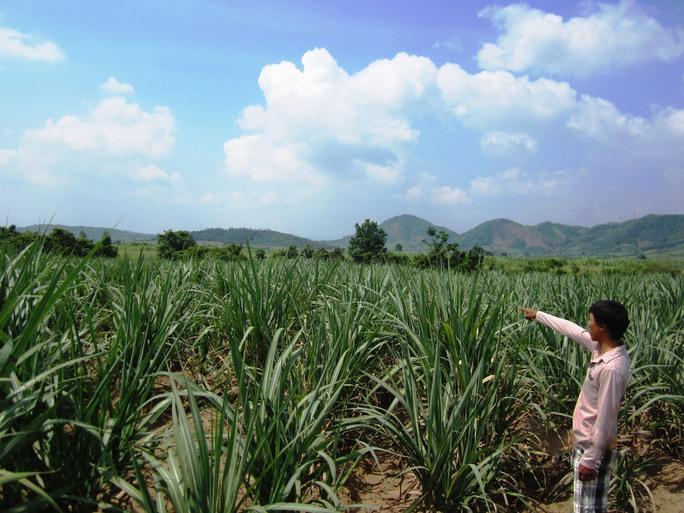 Cánh đồng mía Công ty Vạn Phát trồng trên diện tích đất đã giao cho người dân