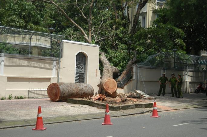Đường kính cây sà cừ gần 1,2 mét