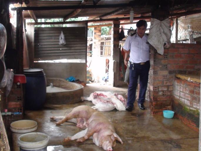 Những con heo chết do xuất huyết đang được xẻ thịt để bán