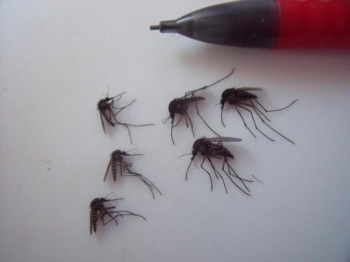 Xác suất sống sót và xuất hiện của muỗi khi chúng trưởng thành sẽ tăng 52% nếu nhiệt độ Bắc Cực tăng lên 2°C. Ảnh: LAUREN CULLER