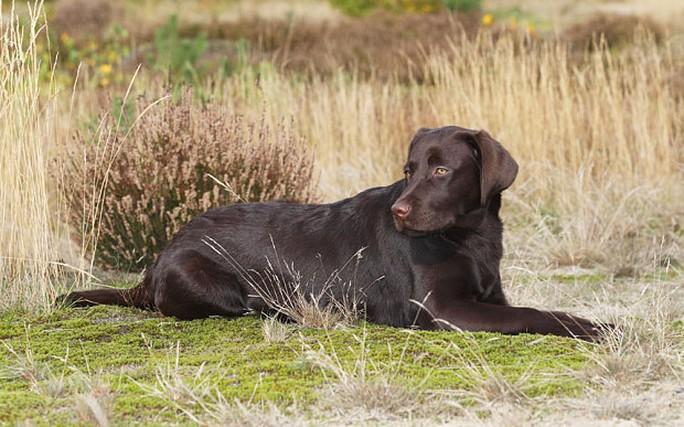Giống chó Labrador (Ảnh minh họa)