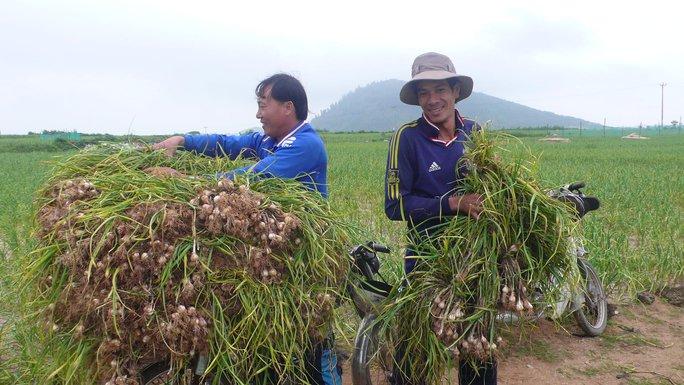 Nông dân Lý Sơn thu hoạch hành tím.