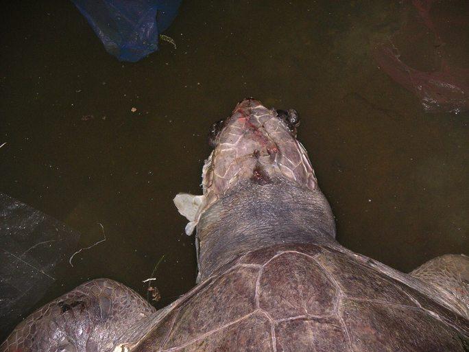 Trên đầu xác rùa có vết thương còn dính vết máu đỏ tươi