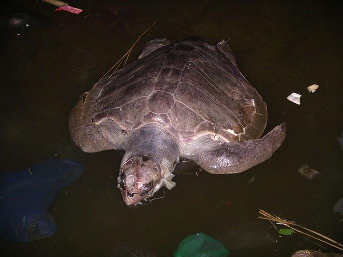 Xác rùa biển màu xanh đen, kích thước rất lớn, có khả năng đang trong thời kỳ chuẩn bị sinh nở