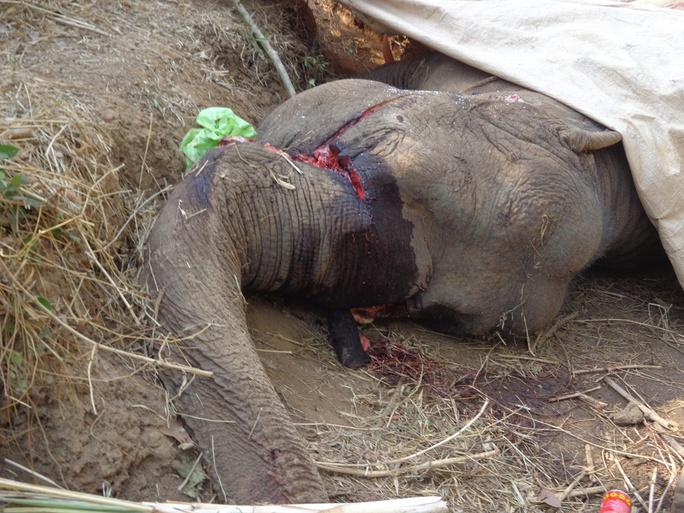 Trong năm 2015, đã có 4 con voi nhà chết do bị sát hại, bệnh tật
