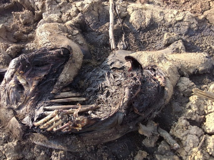 Xác con voi này đã phân hủy gần hết