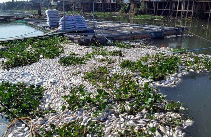 Cá chết hàng loạt trên sông Cái Vừng.