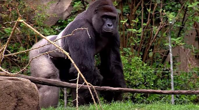 Chú khỉ đột Harambe. Ảnh: YOUTUBE