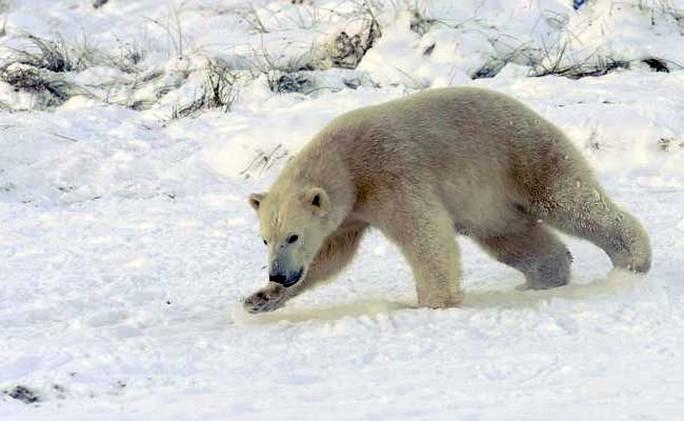 Ít nhất 10 con gấu Bắc Cực đang trưởng thành bao vây các nhà khoa học Nga trên đảo Troynoy. Ảnh: THE WASHINGTON POST