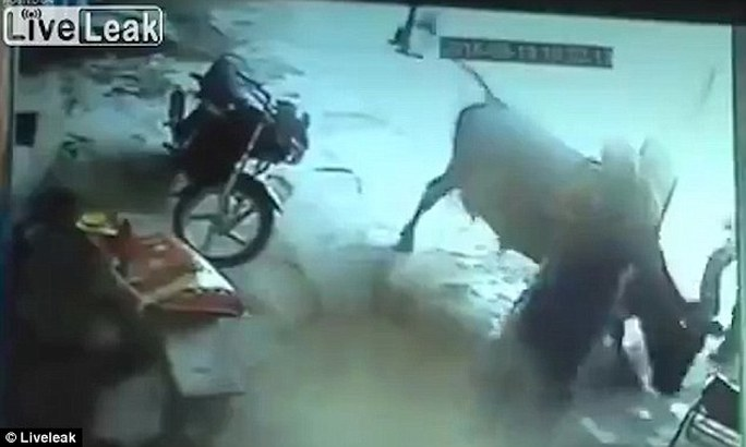 Chú bò xông pha cứu cô gái bị hành quyết. Ảnh: Liveleak