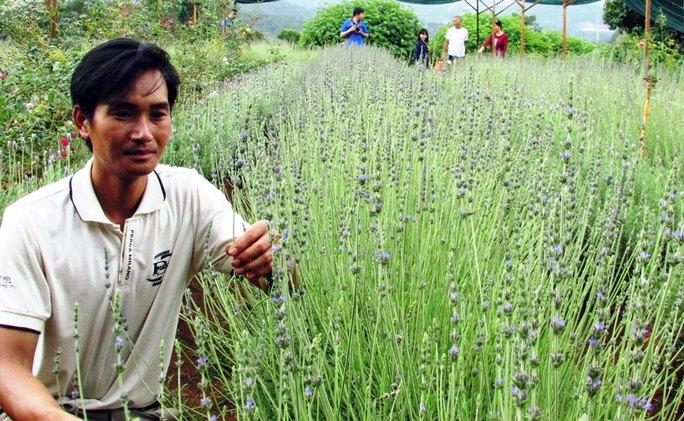 Chủ nhân Lê Tiến Thành bên luống hoa oải hương chuẩn bị thu hoạch