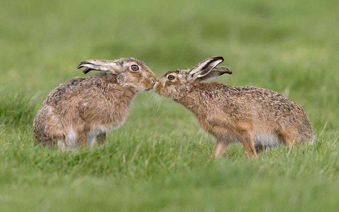 Thỏ rừng tình tứ trên đồng cỏ xanh mát ở Suffolk - Anh. Ảnh: FLPA/Paul Sawer/REX/Shutterstock