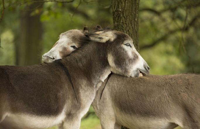 Đôi lừa đang vỗ về nhau, ở Đức. Ảnh: ROKER/REX/Shutterstock