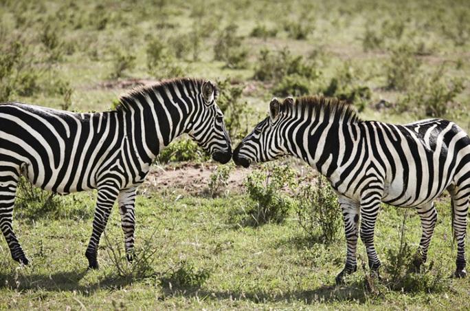 Ngựa vằn tỏ tình ở Masai Mara, Kenya. Ảnh: Cultura/REX/Shutterstock