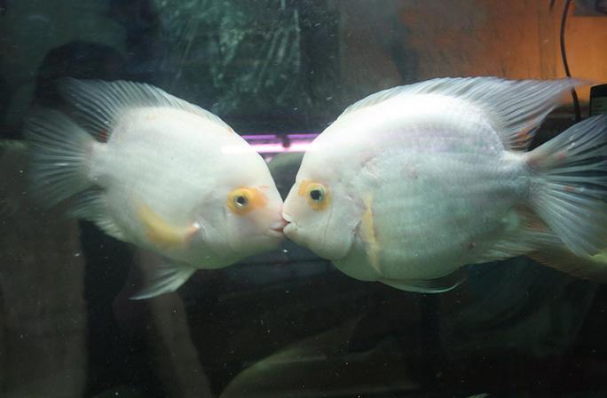 Nụ hôn trong bể cá của cửa hàng thú cưng ở Trung Quốc. Ảnh: Quirky China News/REX/Shutterstock