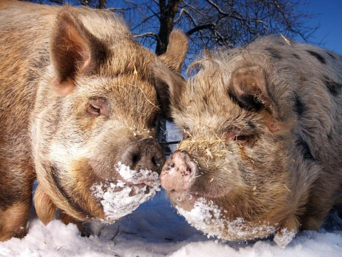 Cặp heo Kuni tâm sự giữa tuyết lạnh ở phía bắc xứ Wales. Ảnh: Dan Callister/REX/Shutterstock