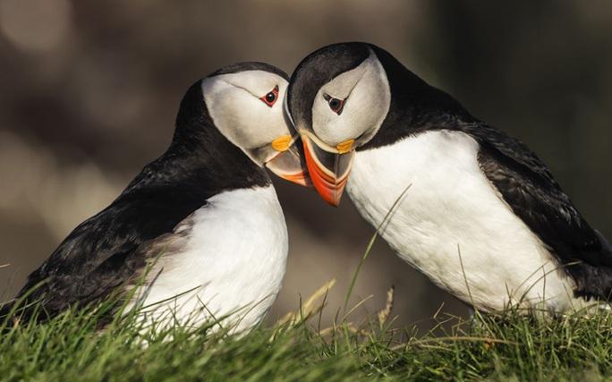Tình yêu dịu dàng của chim hải âu,ở Iceland. Ảnh: Blend Images/REX/Shutterstock