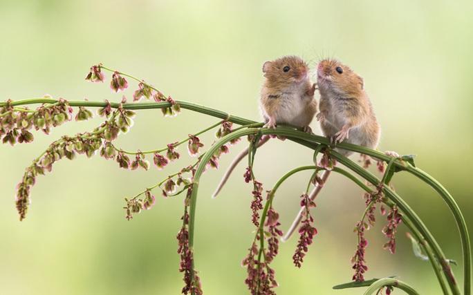 Hai chú chuột nhỏ xíu cũng tranh thủ bày tỏ tình cảm. Ảnh: NPL/REX/Shutterstock