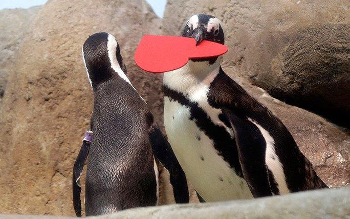 Chú chim cánh cụt châu Phi đang muốn trao trái tim khổng lồ của mình cho người yêu. Ảnh chụp tại Học viện Khoa học Californiaở San Francisco. Ảnh: AP