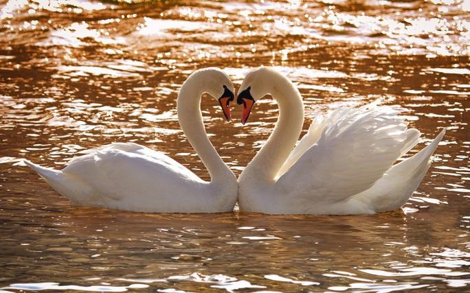 Đôi thiên nga tạo hình trái tim trên hồ Steyr ở Áo. Ảnh: Georg Schlemmer/Arco/Solent News