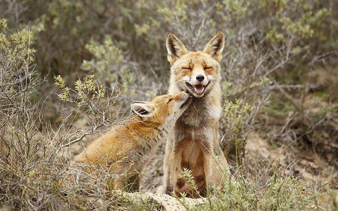 Cảnh tượng đôi cáo âu yếm nhau ở Hà Lan thật khiến người ta ấm lòng. Ảnh: Rex