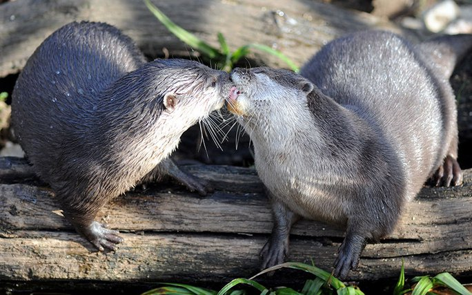 Nụ hôn nồng cháy của đôi rái cá đang yêu ở Công viên Đời sống hoang dã Cotswold - Anh. Ảnh: Paul Nicholls / Barcroft Media
