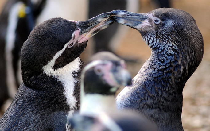 Chim cánh cụt châu Phi tình tứ trong Công viên Động vật Hoang dã Cotswold ở Burford. Ảnh: Paul Nicholls / Barcroft Media