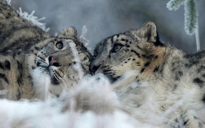 Báo tuyết Chan và Animesh đang sưởi ấm tình yêu tại Công viên Động vật Hoang dã Highland ở Kingussie, Scotland. Ảnh: Rex