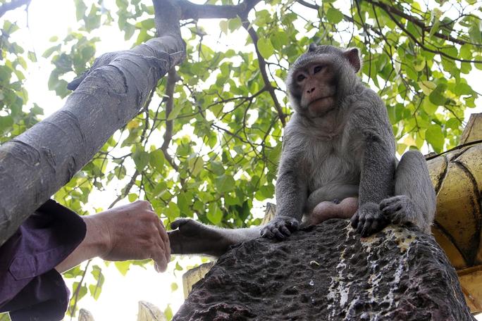 Nhưng đàn khỉ không hề quấy phá du khách, thậm chí còn thân thiện cho người vuốt ve.
