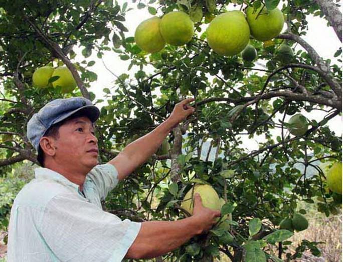 Hầu hết các giống cây ăn trái ở miền Nam phát triển tốt trên đất Krông Pha