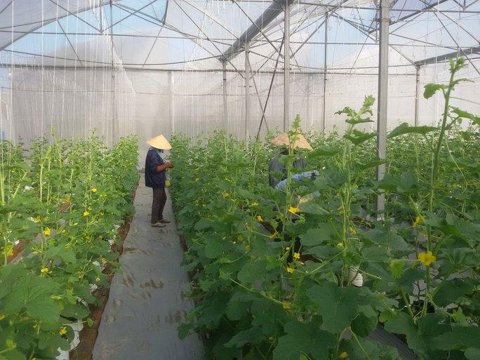 Dưa lưới trồng nhà màng