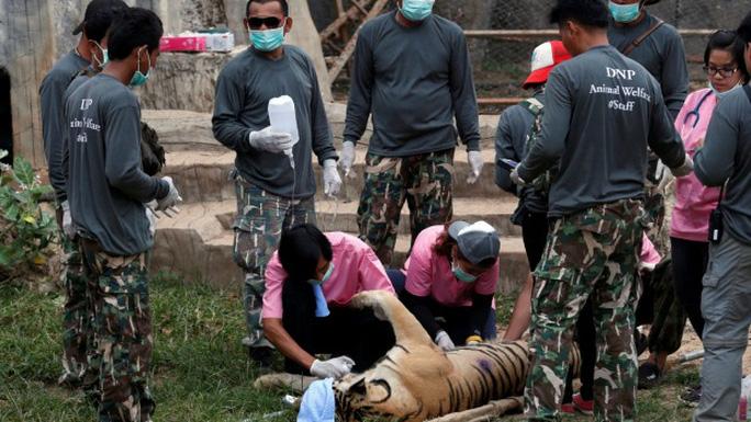 Những con hổ được tiêm thuốc mê rồi đưa đi. Ảnh: REUTERS
