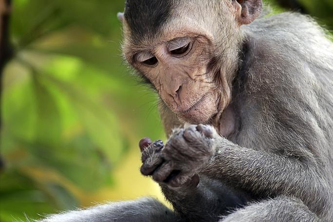 ...và loài khỉ đuôi dài lông xám.