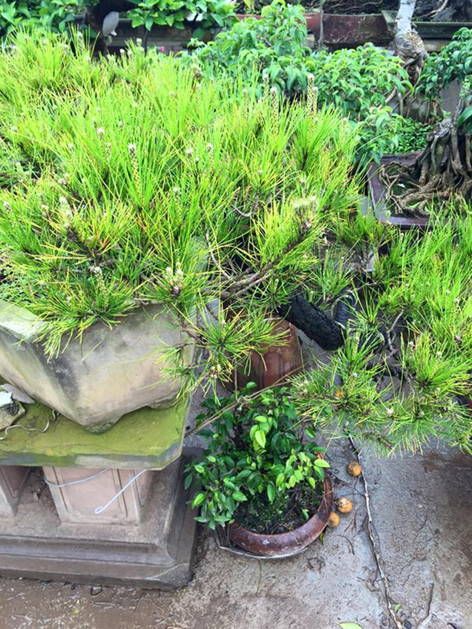 Ngoài quất bonsai, các loại cây cảnh cũng được người dân Hà Nội ưa chuộng lựa chọn dịp Tết