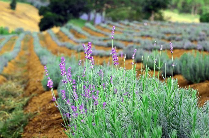 Lavender Đà Lạt khoe sắc