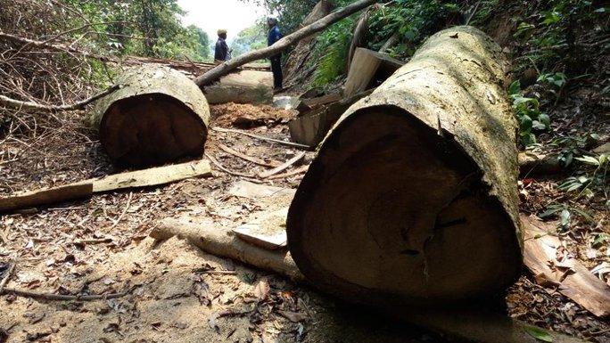 Một cây gỗ lớn trong rừng bị chặt hạ nhưng chưa được lấy đi hết