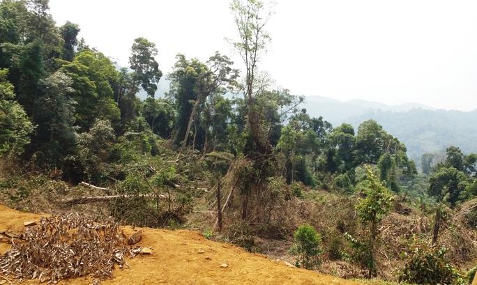 Một khoảng rừng tại thôn Đắk Re, xã Hiếu mới bị chặt còn tươi nguyên