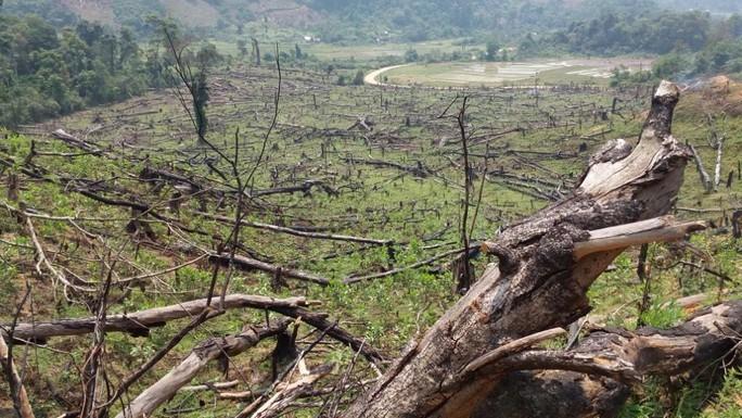 Một vạt rừng lớn bị chặt hạ, gốc cây còn nham nhở