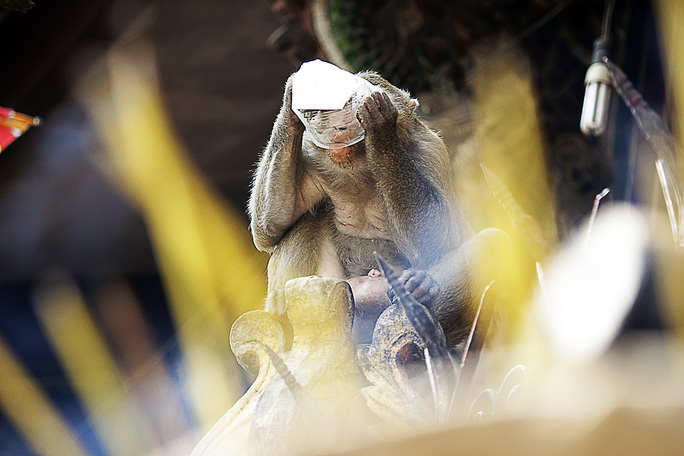 Theo những người dân buôn bán lâu năm tại chùa thì đàn khỉ ban đầu chỉ có vài con, qua hàng chục năm đã sinh sôi nảy nở lên đến vài chục con